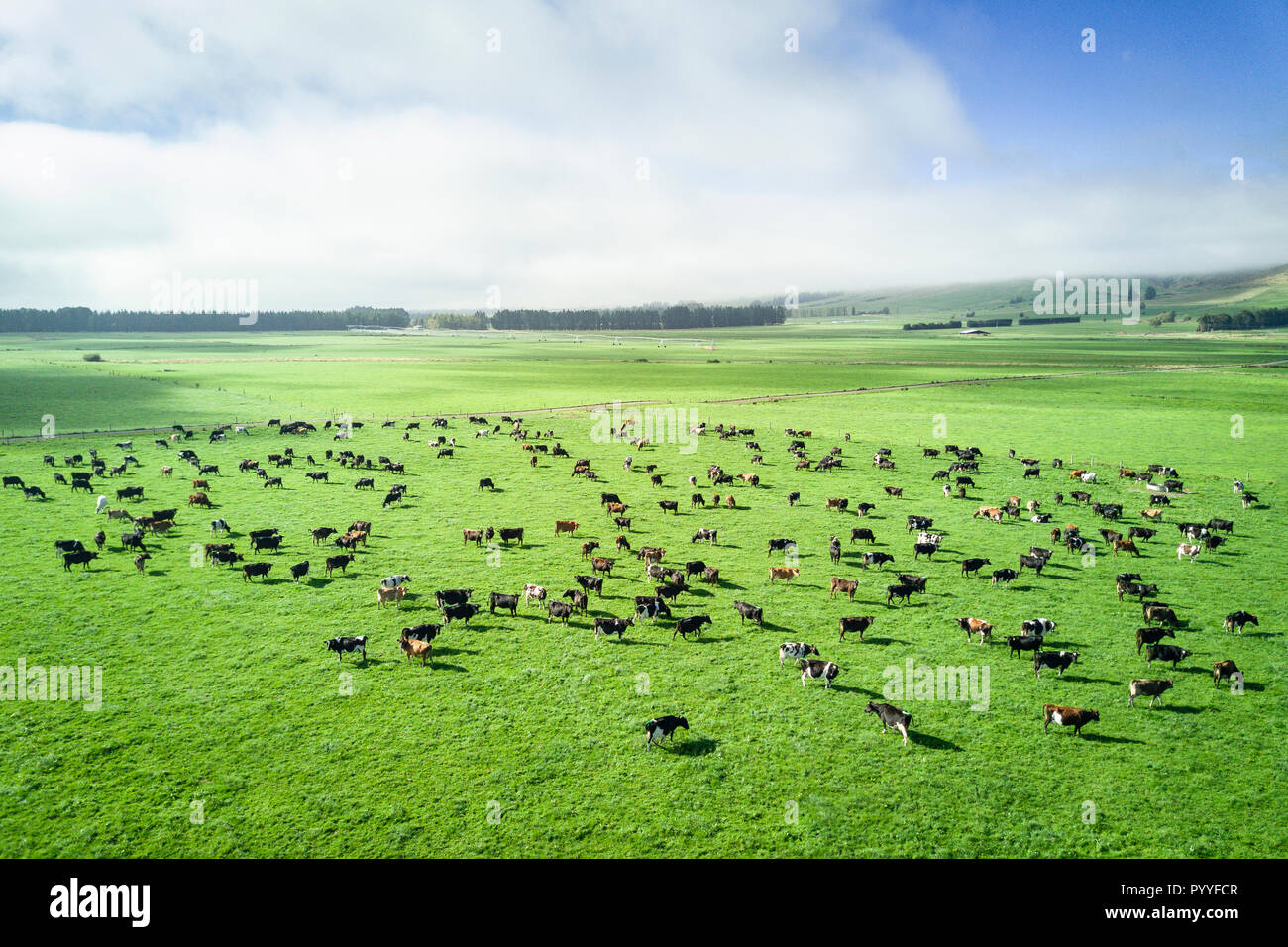 Aerial view of cattle in New Zealand countryside on the South Island - Stock Image
