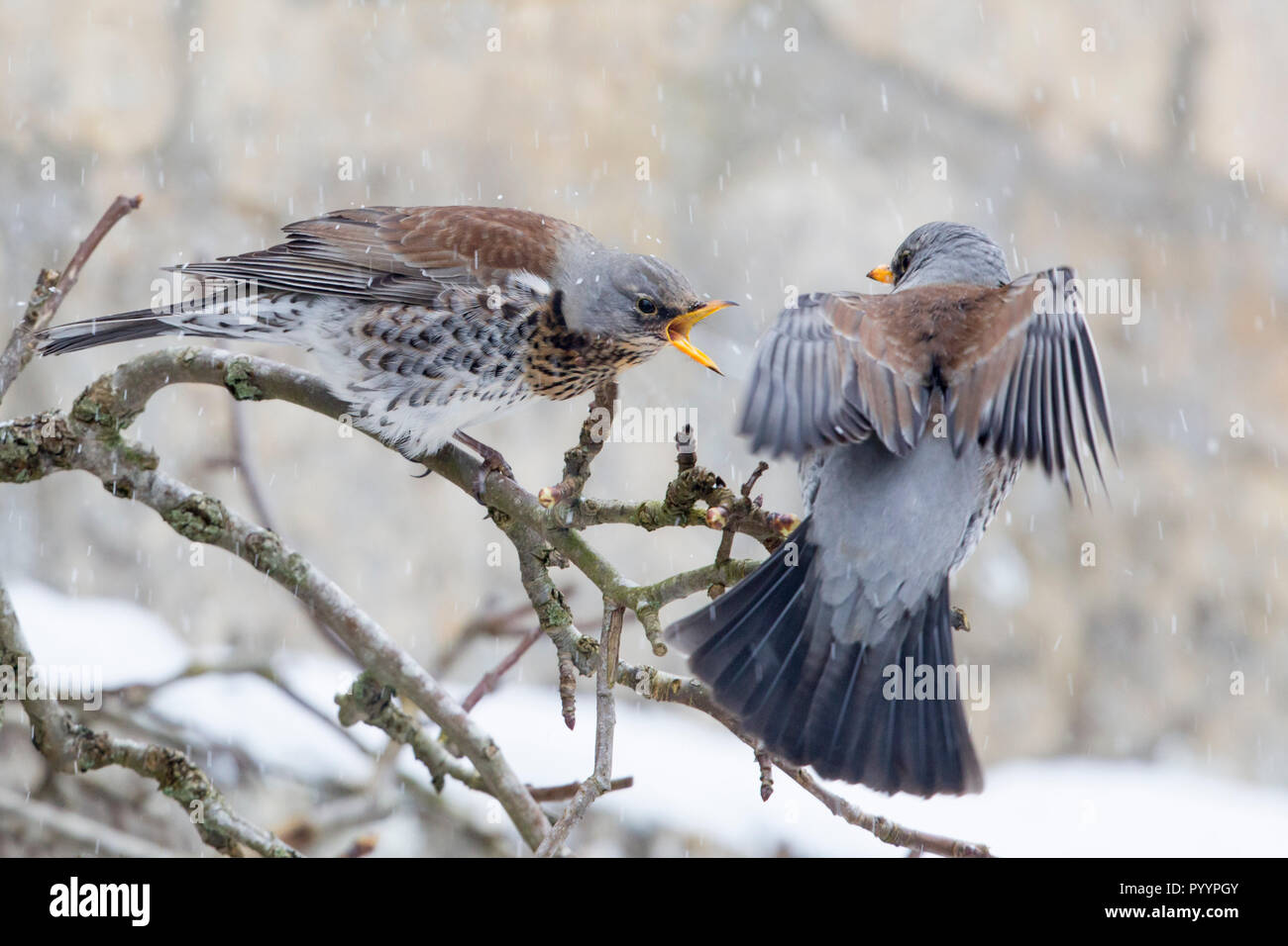 Two Fieldfares on a branch on the house wall fighting, garden in the Cotswolds, Worcestershire March 2018 - Stock Image