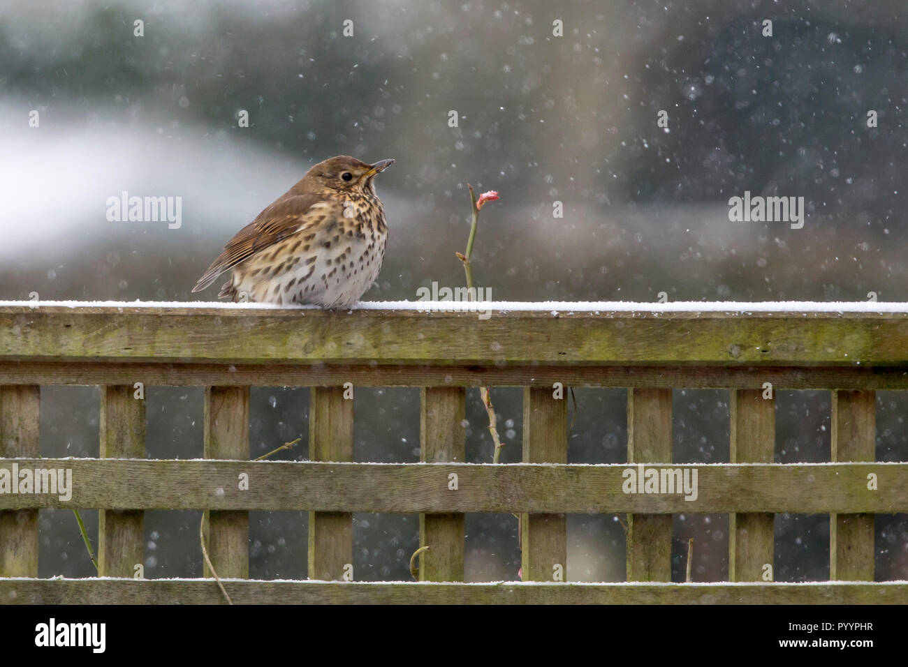 Song Thrush perched on a trellis in a garden in the snow, March 2018 Worcestershire, England - Stock Image