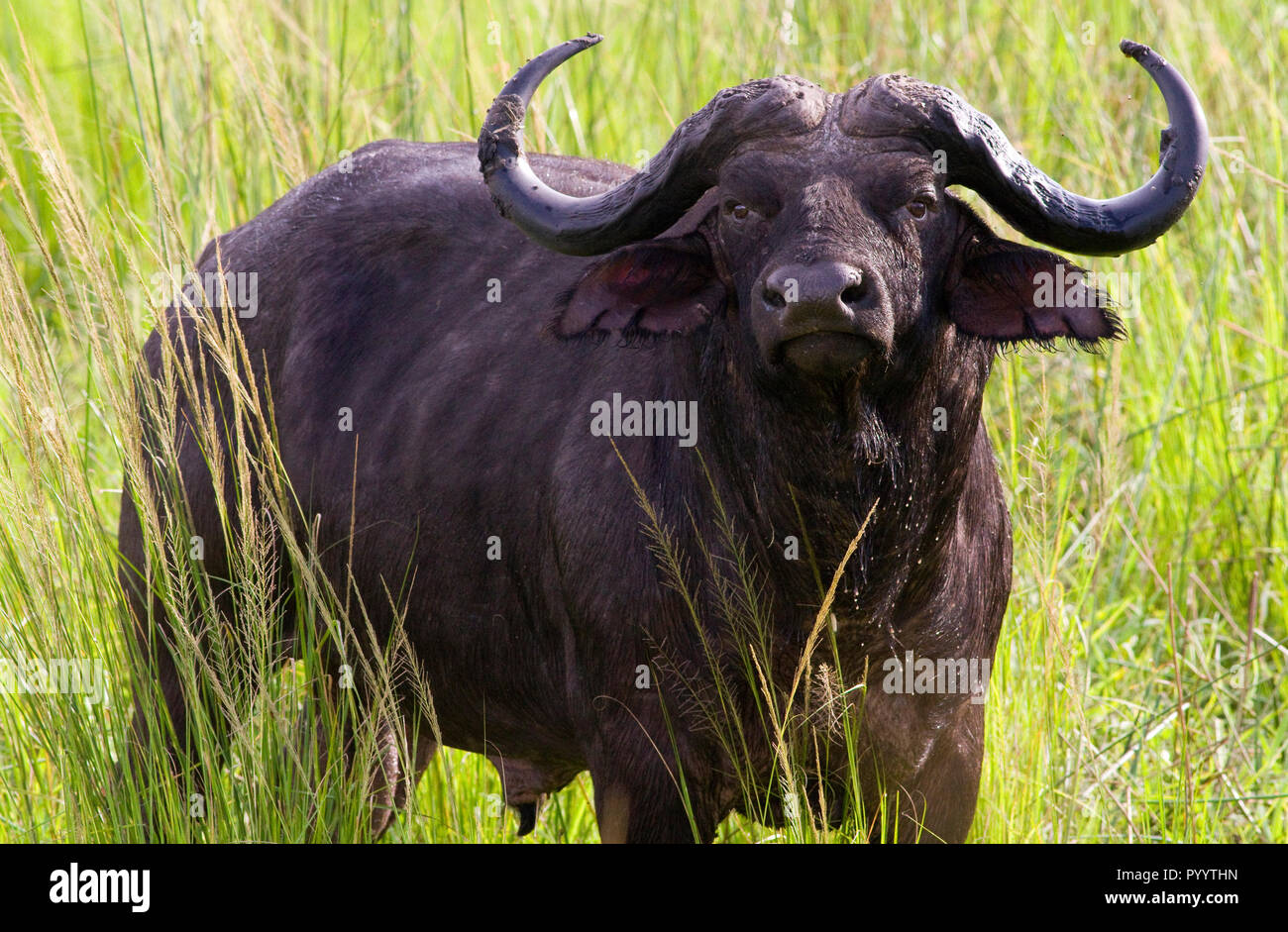 Solitary Cape Buffalo bulls are often unpredictable and considered on the Africa's most notorious and dangerous members of the Big Five - Stock Image
