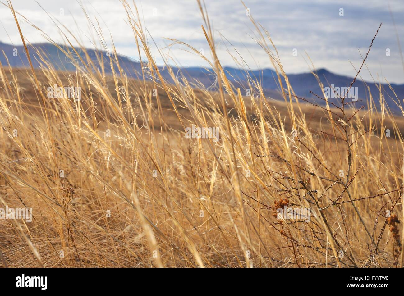 View of yellow autumn grass with a shallow depth of field with gentle hills background in Khakassia, Russia - Stock Image