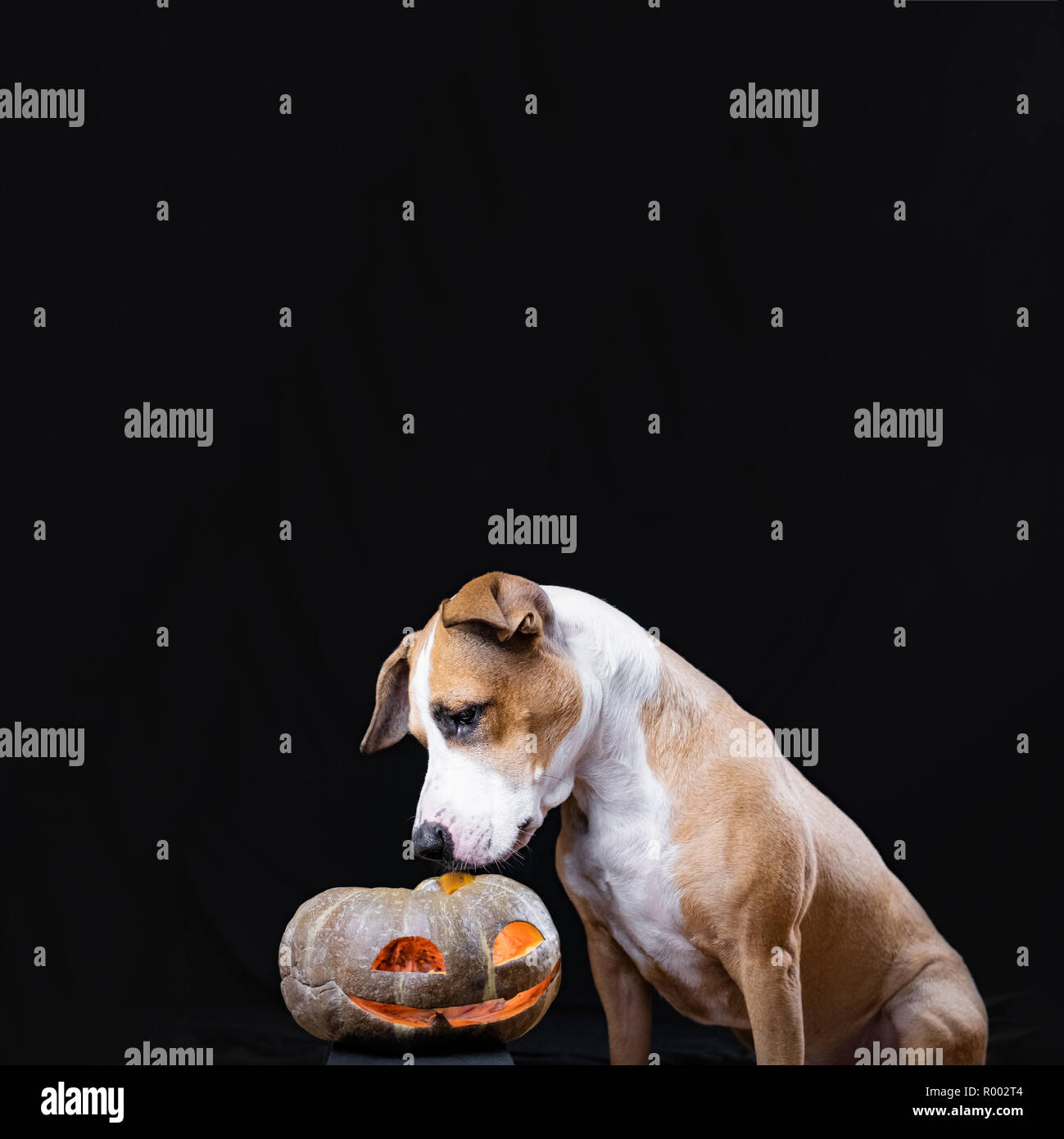 Dog and halloween pumpkin lantern on black background. Cute staffordshire terrier puppy sits and looks at carved jack'o'lantern face - Stock Image