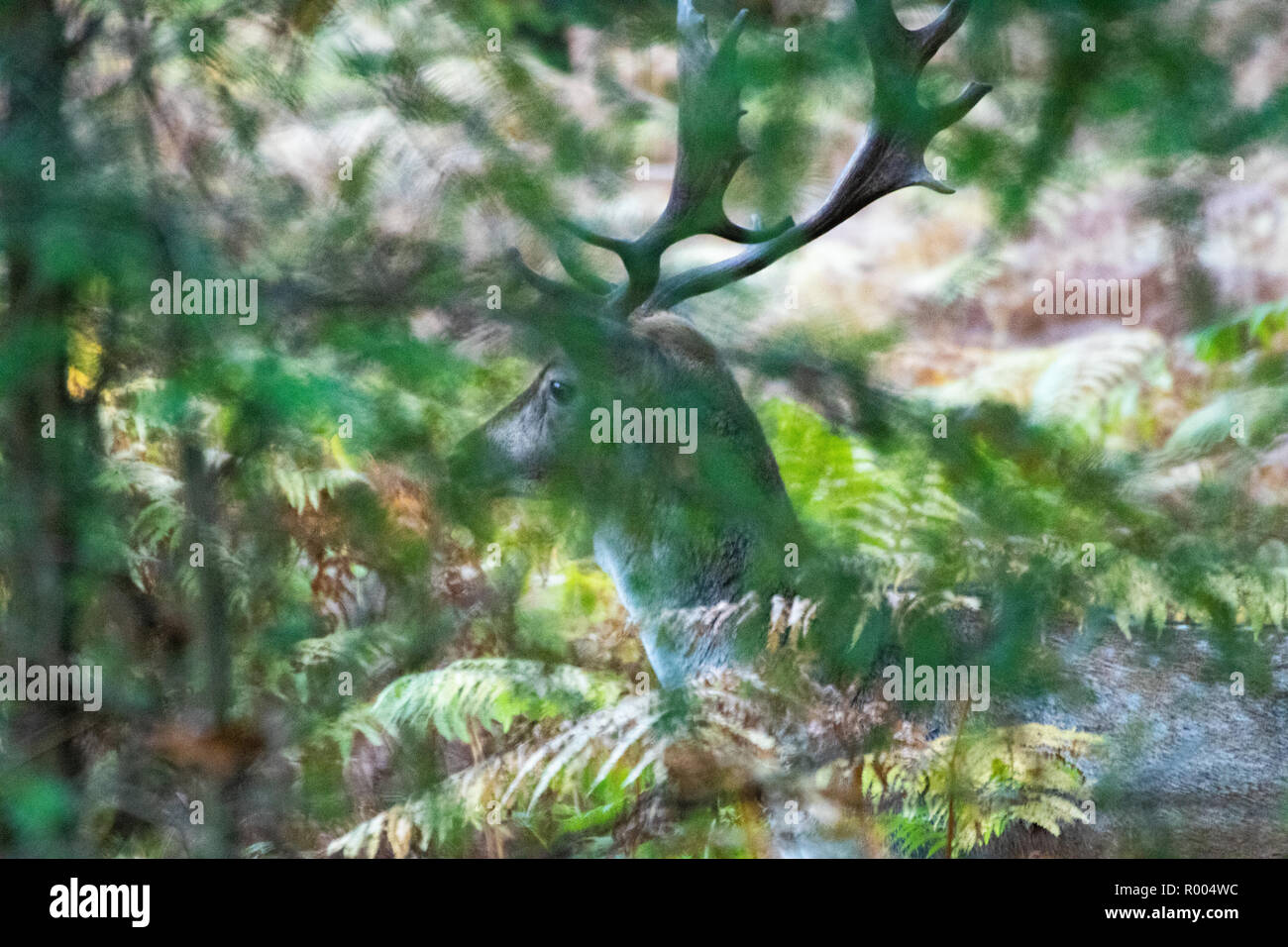 Deer stag with large antlers hiding in fern in a forest Stock Photo