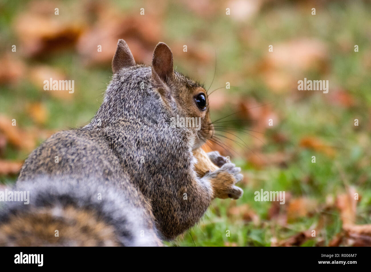A grey squirrel sitting on brown autumn leaves - Stock Image