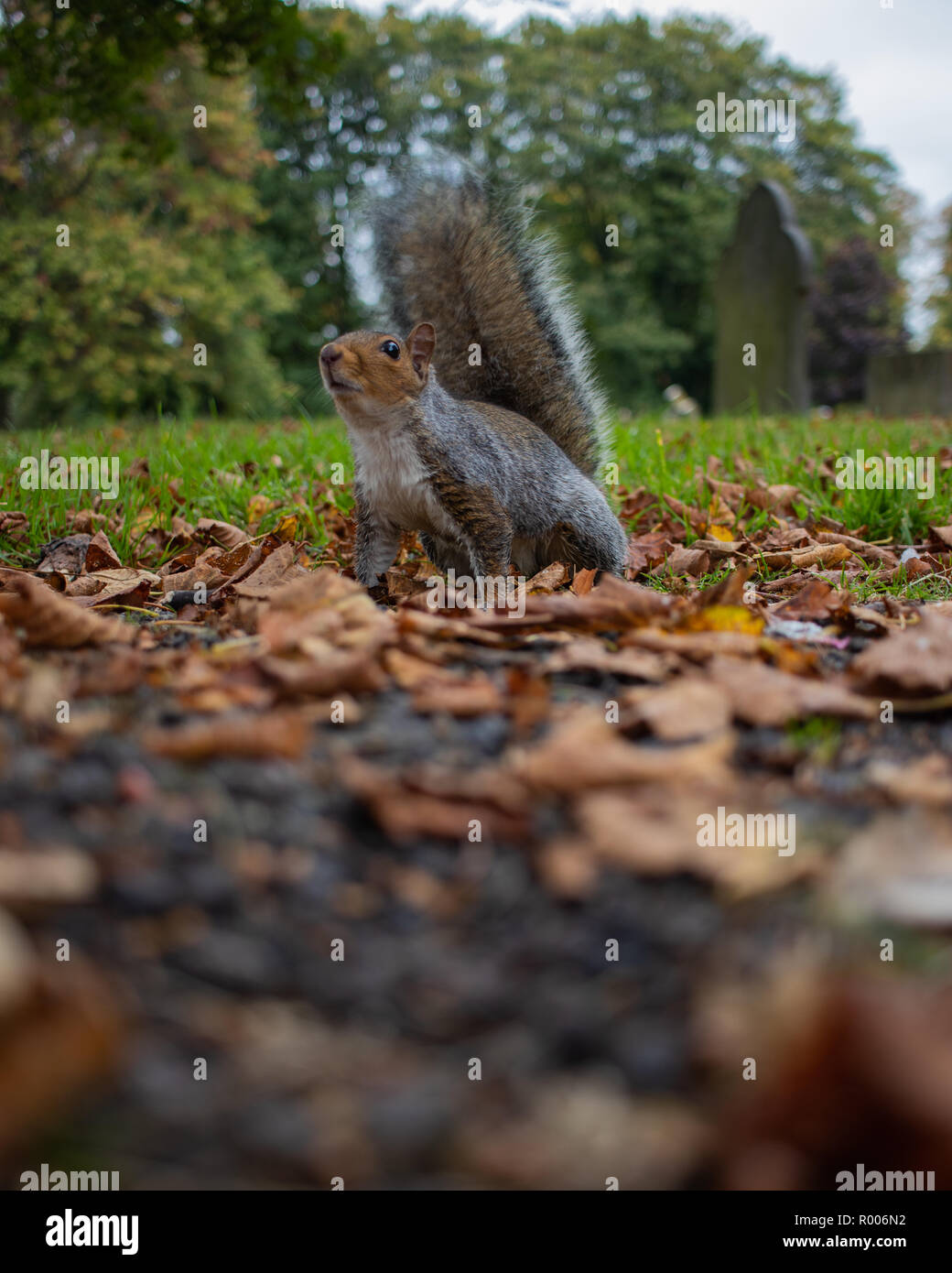 A grey squirrel sitting on brown autumn leaves Stock Photo