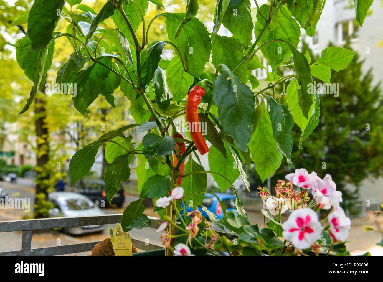 Ganz und zu Extrem Paprika Pflanze Stock Photos & Paprika Pflanze Stock Images - Alamy &AJ_86