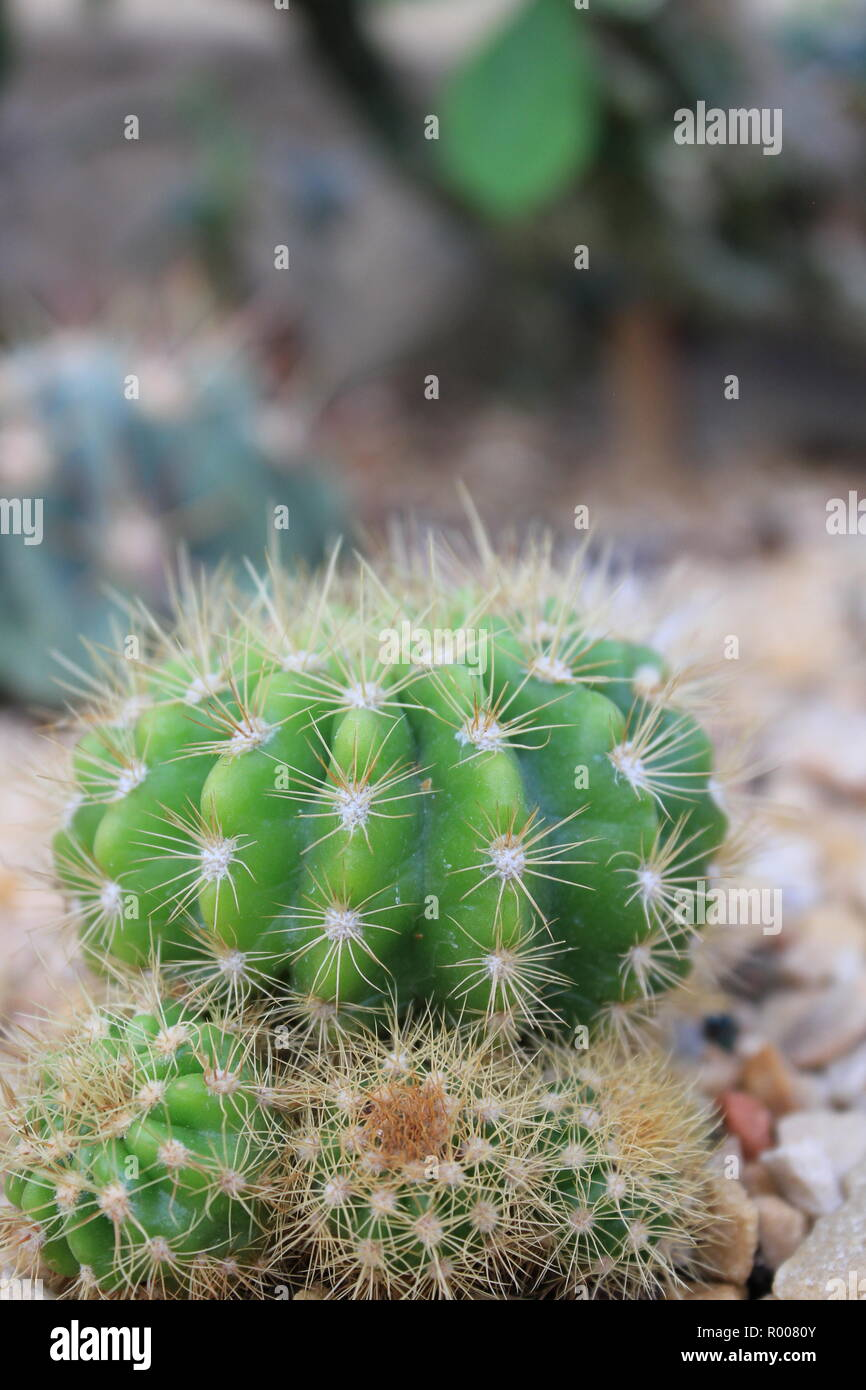Cultivated Ornamental Baby Cactus And Succulent Desert Plant Growing In An Arid Environment Stock Photo Alamy