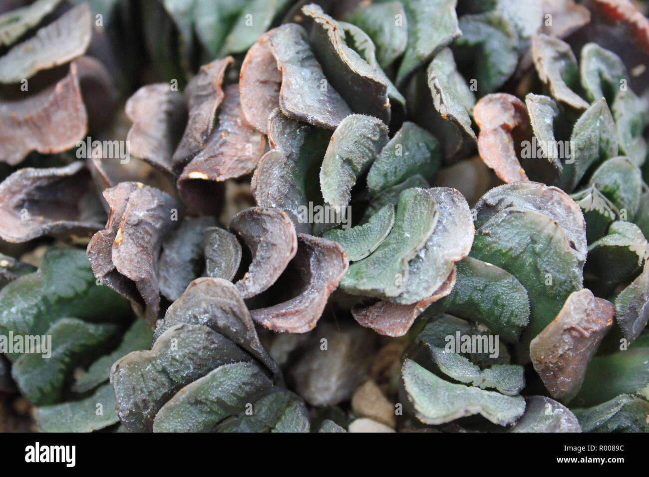 Haworthia truncata, clipped window plant, horse's teeth, H. truncata as an ornamental succulent desert plant growing in an arid environment. - Stock Image