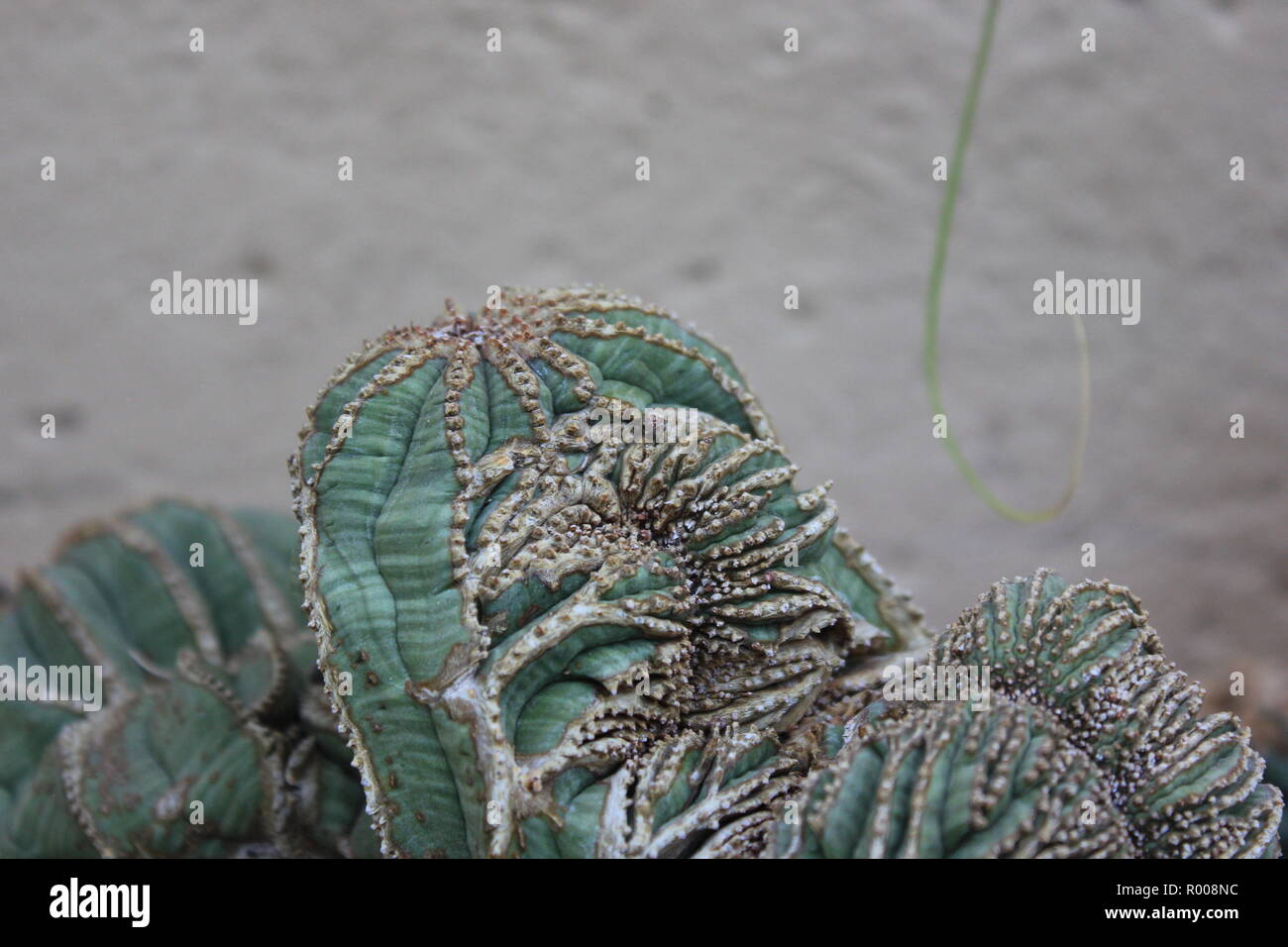 Sea urchin euphorbia , Euphorbia obesa cristata, as cultivated ornamental cactus and succulent desert plant growing in an arid environment. - Stock Image