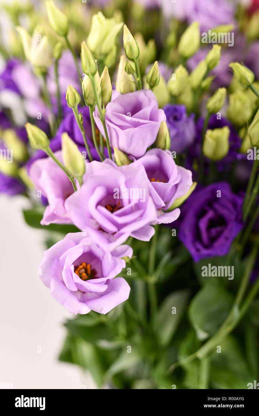 Texas bluebells (Eustoma grandiflorum), also kwown as Texas bluebell, bluebell, showy prairie gentian, prairie gentian and Lisianthus *** Local Captio - Stock Image