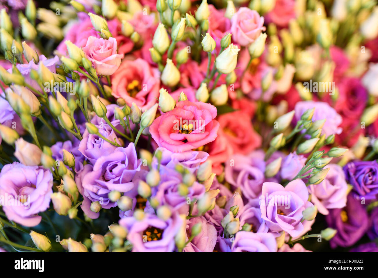 Texas bluebells (Eustoma grandiflorum), also kwown as Texas bluebell, bluebell, showy prairie gentian, prairie gentian , red and Lisianthus *** Local  - Stock Image