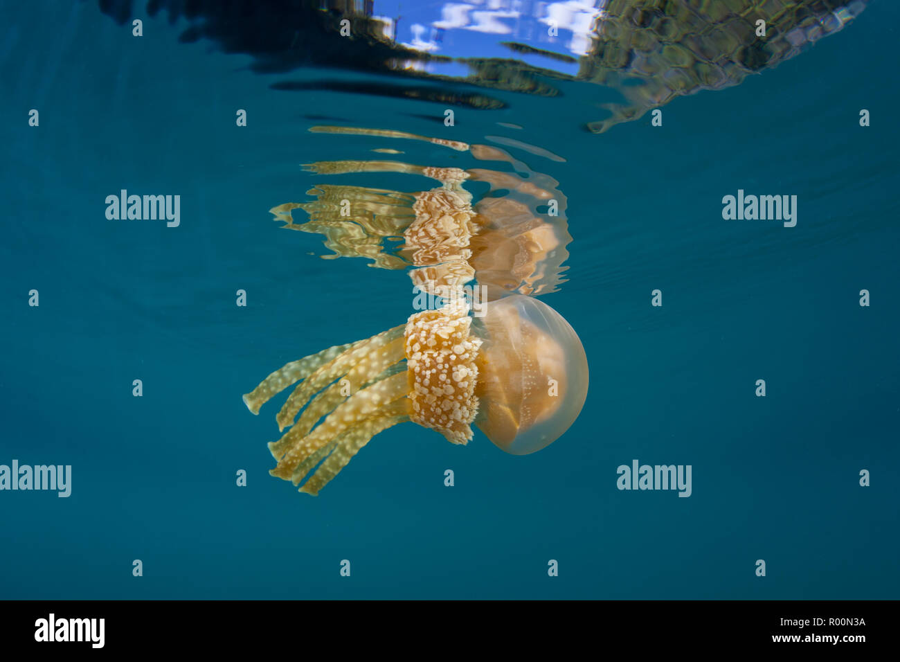 A Golden jellyfish, Mastigias papua, drifts in shallow water in Raja Ampat, Indonesia. This region is known for its spectacular marine biodiversity. - Stock Image