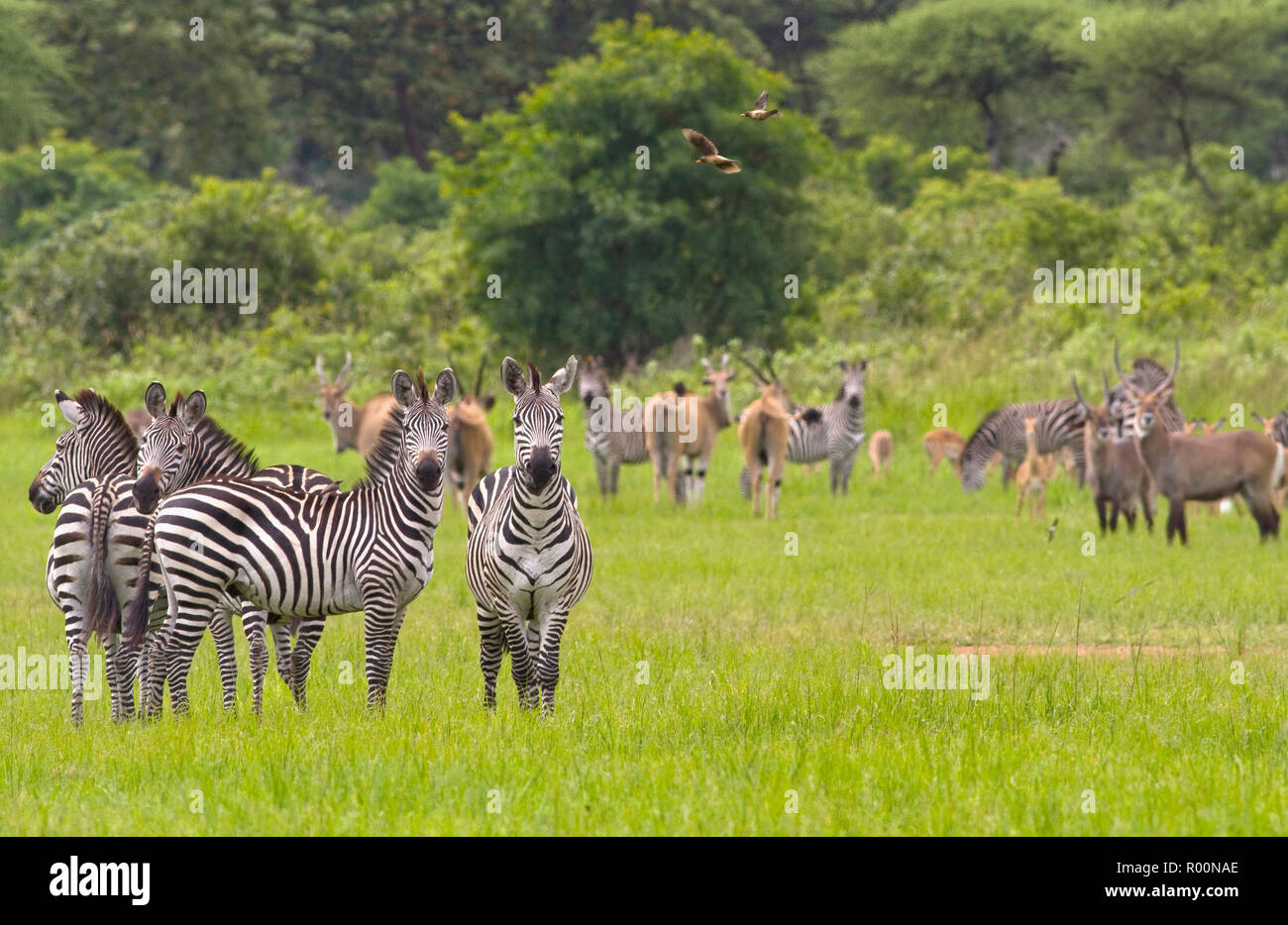 Large herds of mixed herbivores are a common sight in the Katavi National Park where the floodplains provide a nice feast year round - Stock Image