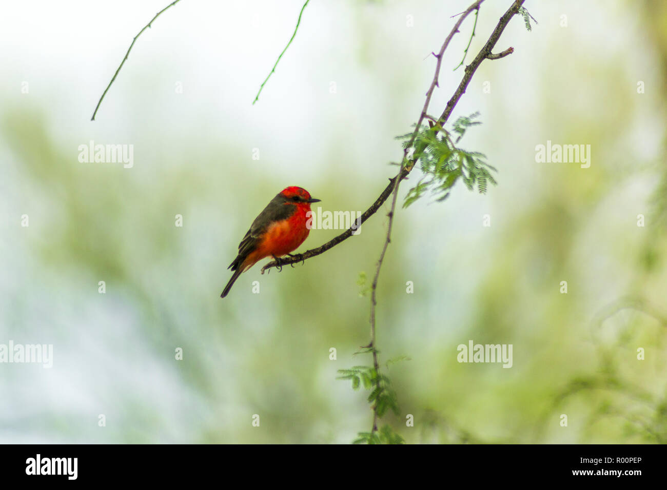 Black and red bird perching on a tree branch at Big Bend National Park. - Stock Image