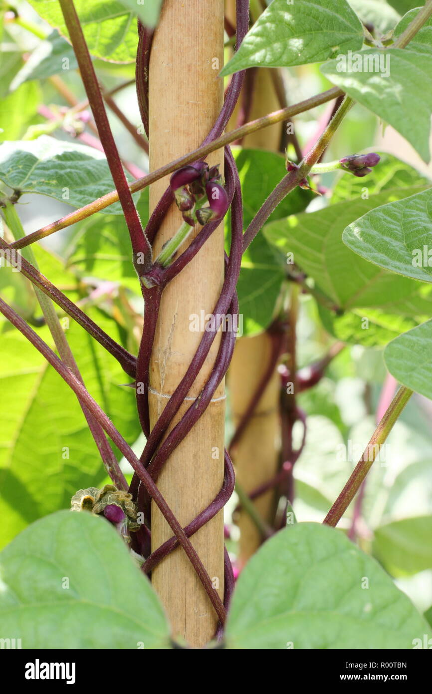 Phaseolus vulgaris.  Violet Podded climbing French bean twisting up bamboo cane supports in a kitchen garden, UK - Stock Image