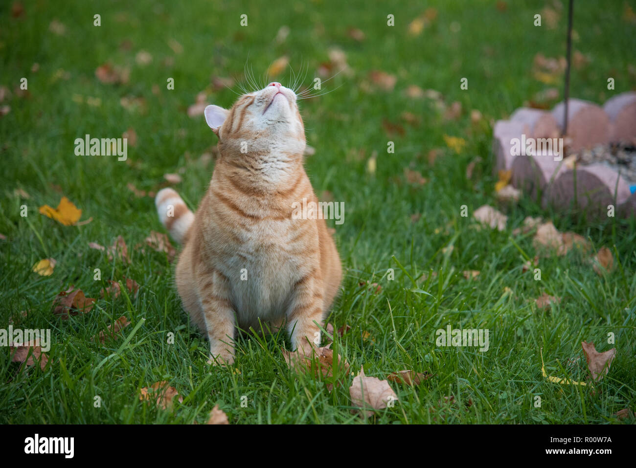 Orange Tabby Cat looking up at the birds in his yard. He is hunting from a seated position on the green grass. Autumn leaves are falling on the ground - Stock Image