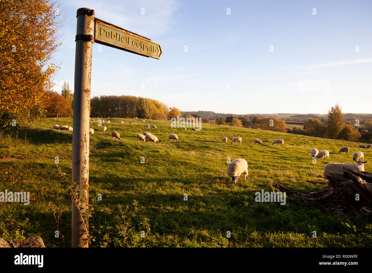 Public footpath running across the Coneygree field filled with grazing sheep at sunset, Chipping Campden, Cotswolds, Gloucestershire, England, UK - Stock Image