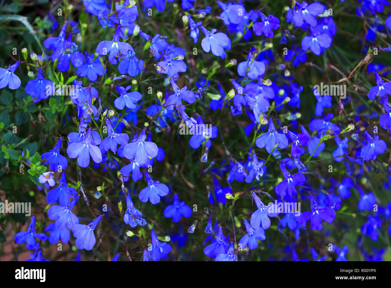 Lobelia Erinus Stock Photos Lobelia Erinus Stock Images Alamy