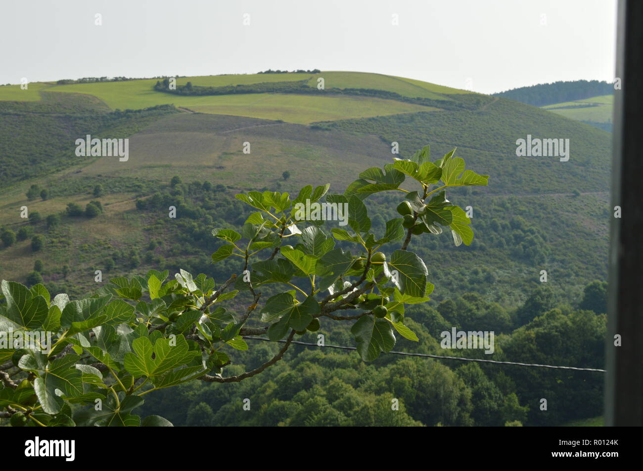 Branches Of A Fig Tree With Views Over The Mountain Of Lugo In Galicia. Nature, Animals, Landscapes, Travel. August 2, 2018. Rebedul, Lugo, Galicia, S - Stock Image