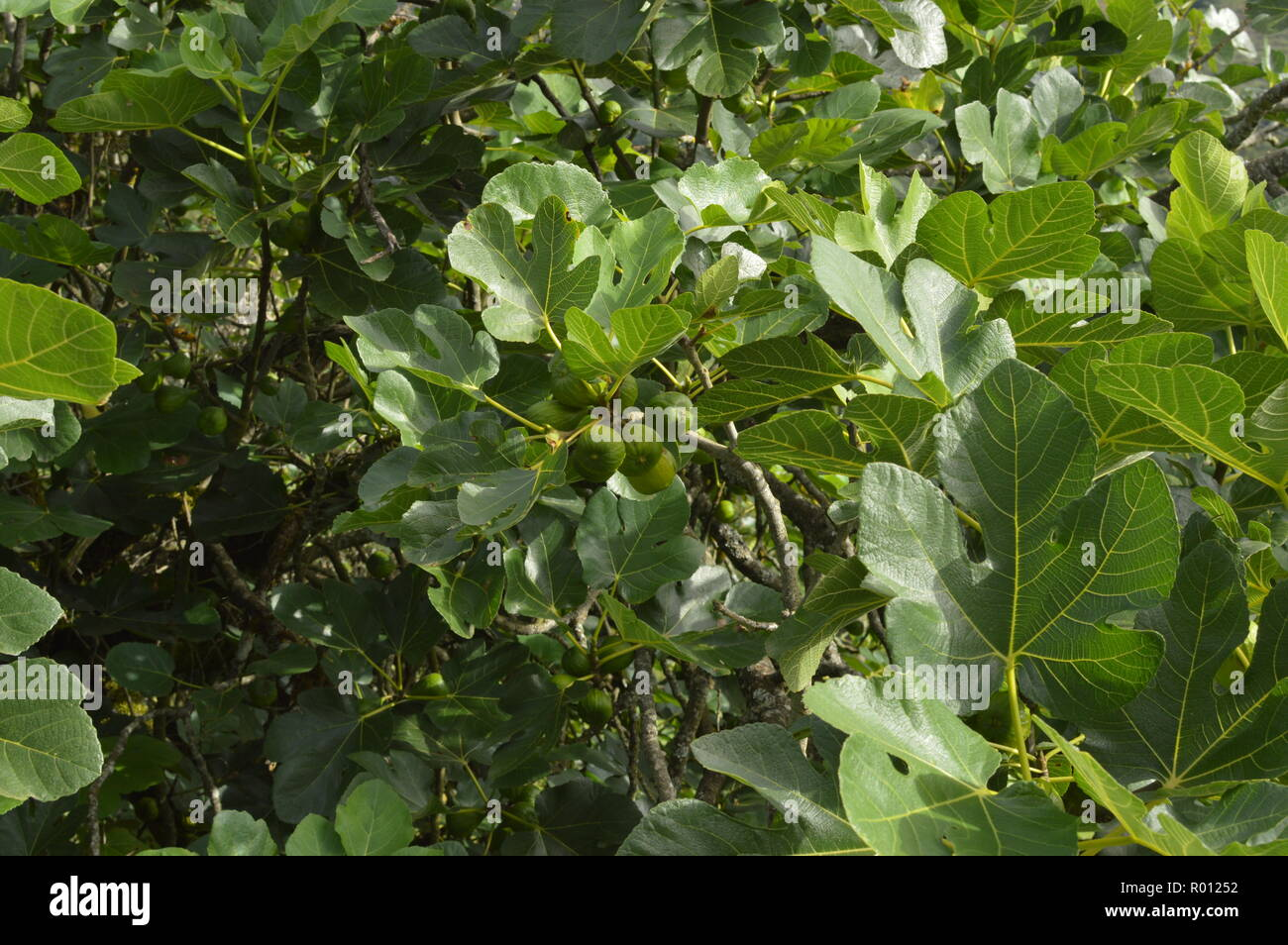 Branches Of A Fig Tree On Top Of Lugo Mountain In Galicia. Nature, Animals, Landscapes, Travel. August 2, 2018. Rebedul, Lugo, Galicia, Spain. - Stock Image