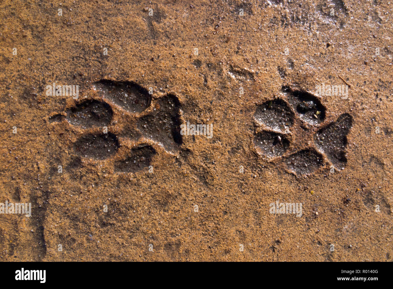 Paw print / paws prints left in wet concrete – which has now dried and set hard – of animals or wild animal that walked in the cement to become a permanent reminder. (103) - Stock Image