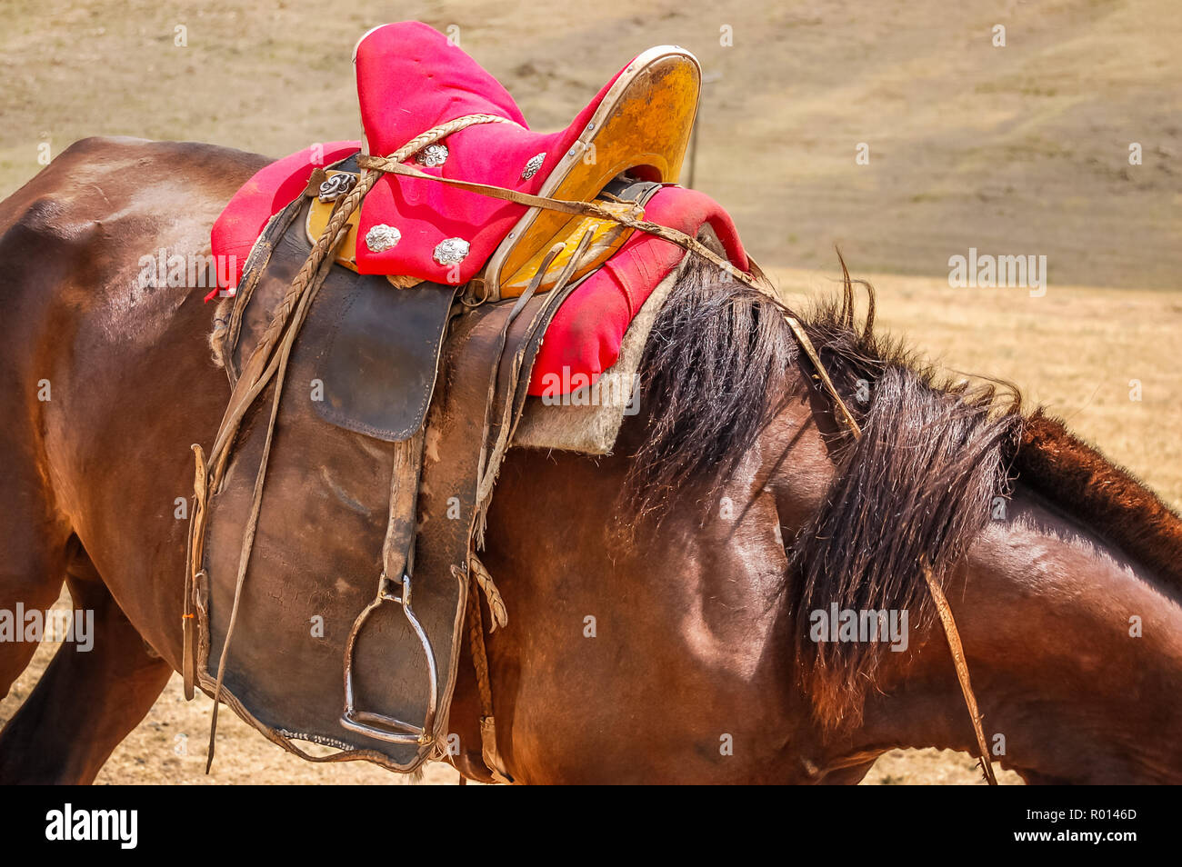 Closeup of saddled horse with traditional saddle in Mongolia on steppe Stock Photo