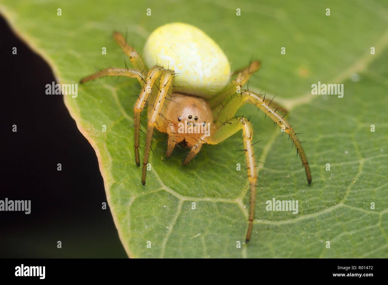 Araniella sp spider aka Cucumber Green spider sitting on leaf. Tipperary, Ireland - Stock Image