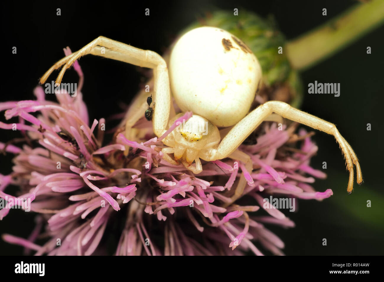 Crab Spider female (Misumena vatia) in defensive posture on thistle. Tipperary, Ireland - Stock Image
