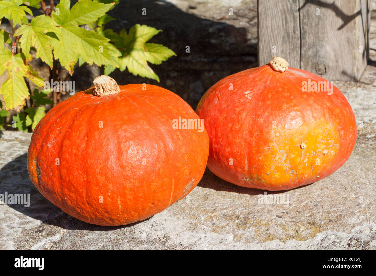 Two pumpkins on the coping of a well after harvesting in a vegetable garden during autumn - Stock Image