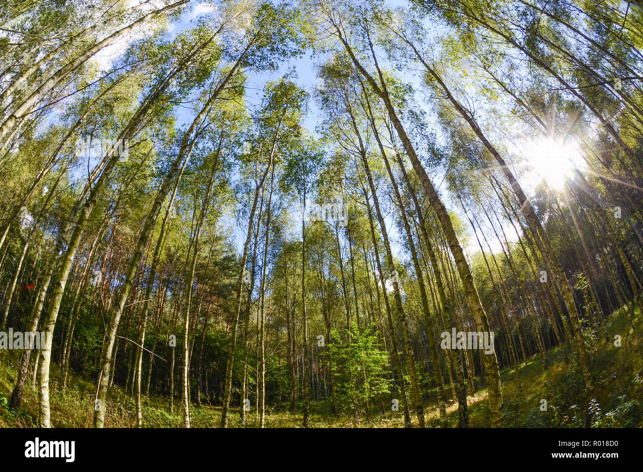 Early autumn young forest with golden leaves in golden light of early afternoon. - Stock Image