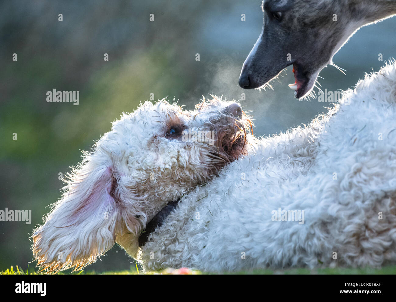 Young Cockapoo dog - Stock Image