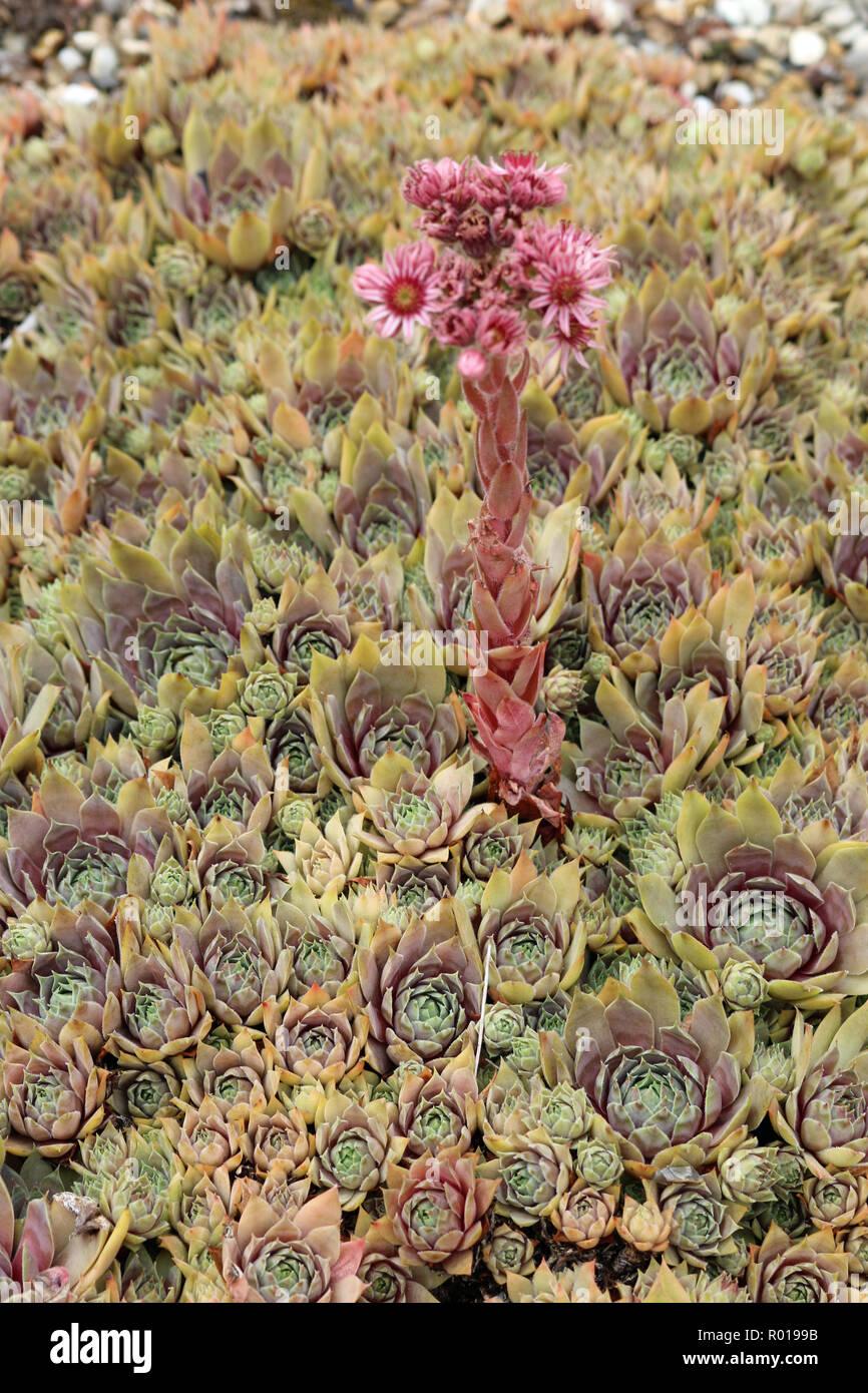 Houseleek (Sempervivum) plant rosettes, also known as hens ... on hyssop plant, holly plant, bottling plant, hellebore plant, sage plant, scilla violacea plant, lemon verbena plant, daffodil plant, lemon balm plant, hops plant, lady's mantle plant, catmint plant, birch plant, perennial plant, yarrow plant, poppy plant, gold flower plant, thyme plant, goat's beard plant,