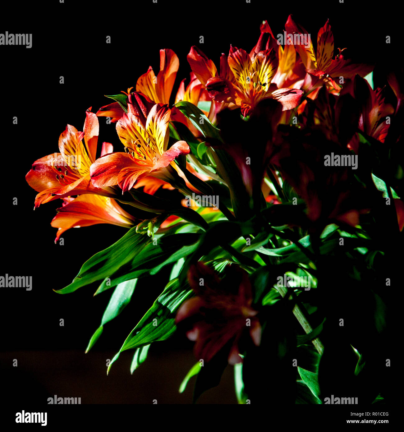 Peruvian lily Alstroemeria in flower against a black background Stock Photo