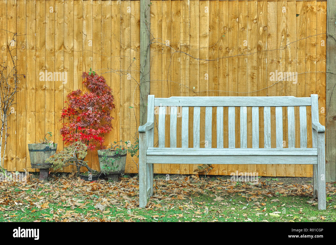 Brilliant Japanese Maple Acer Palmatum And Wooden Fence Behind A Machost Co Dining Chair Design Ideas Machostcouk