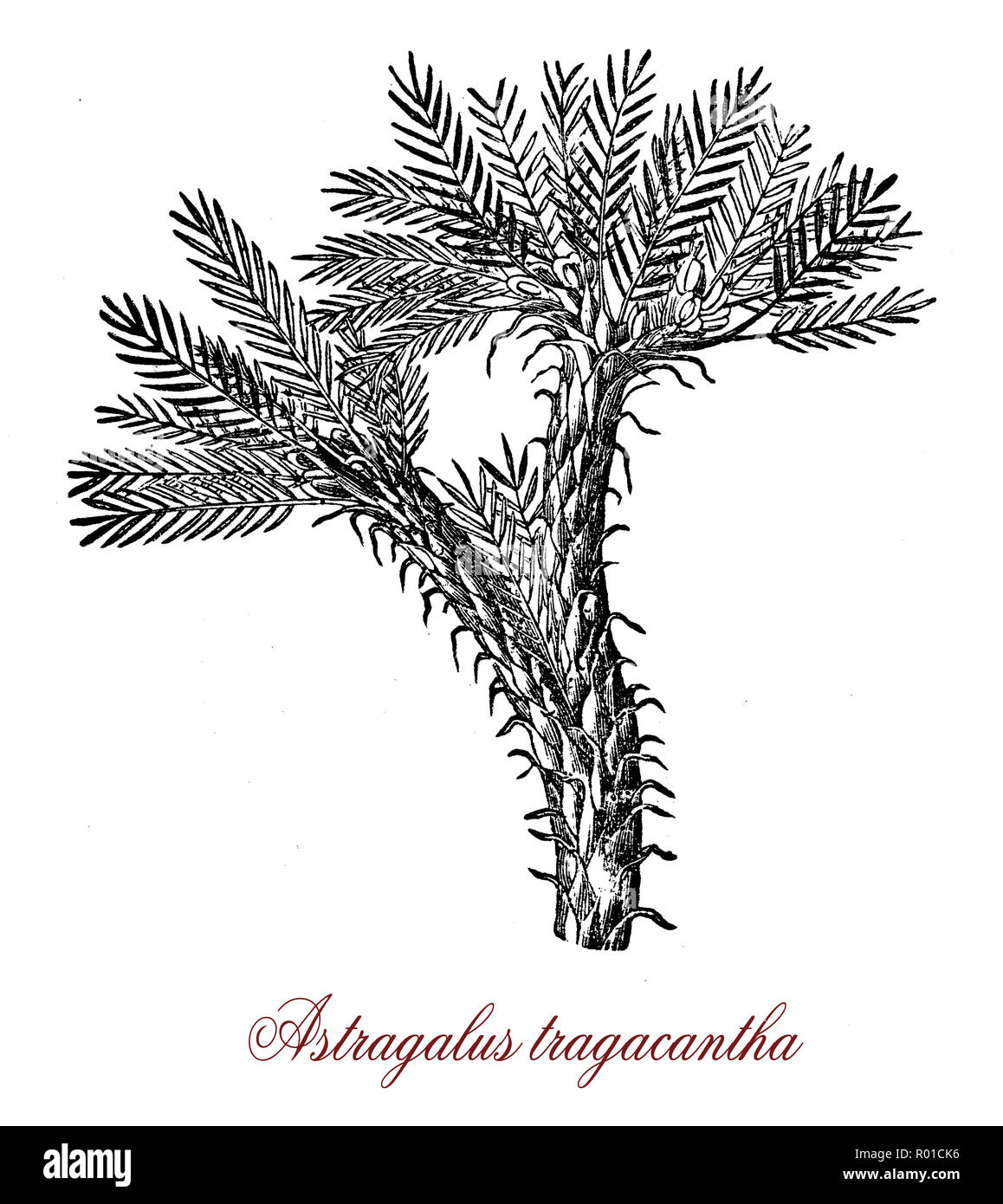 Vintage botanical engraving of astragalus tragacantha, a milkvetch growing in sandy soil around the Mediterranean beaches, origin of natural gum tragacanth, made with dried sap. - Stock Image