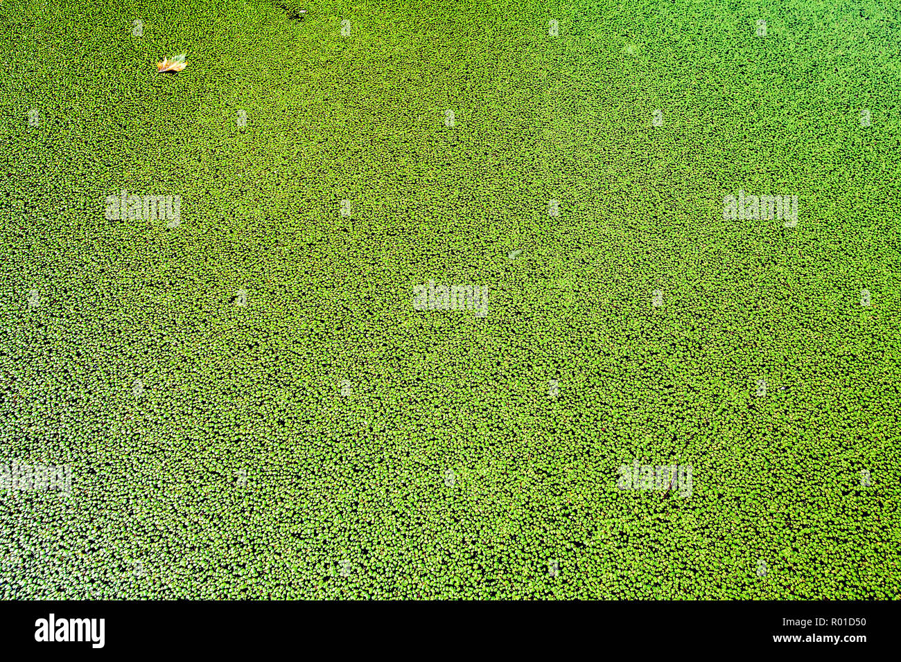 summer algal bloom on surface of London canal - Stock Image
