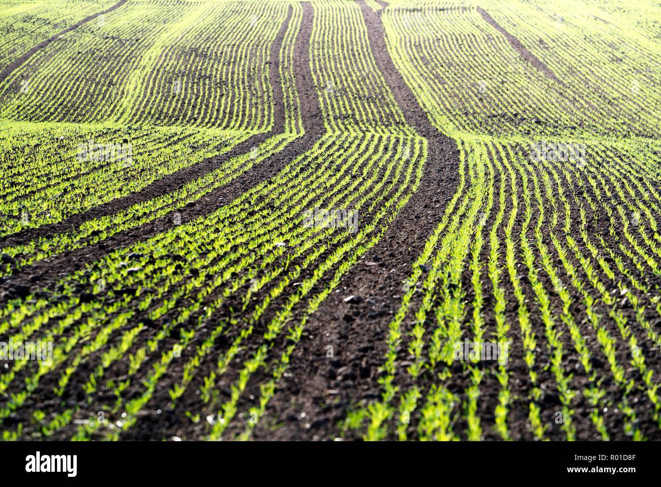 Cool-season cereals in autumn, Oberweser, Weser Uplands, Weserbergland, Hesse, Germany - Stock Image