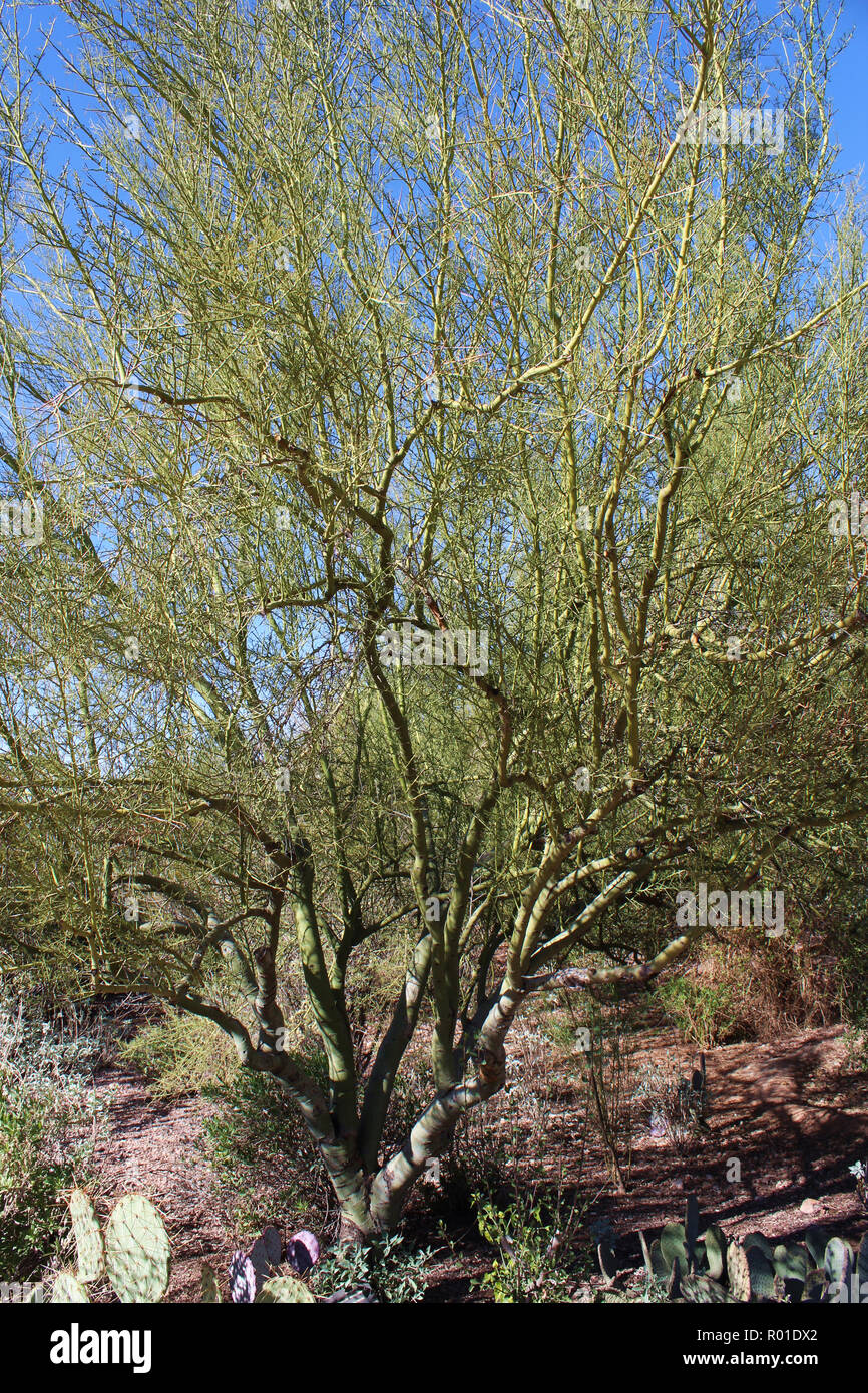 A Foothill Palo Verde tree, Parkinsonia microphylla, surrounded by desert plants in the desert of Arizona, USA - Stock Image