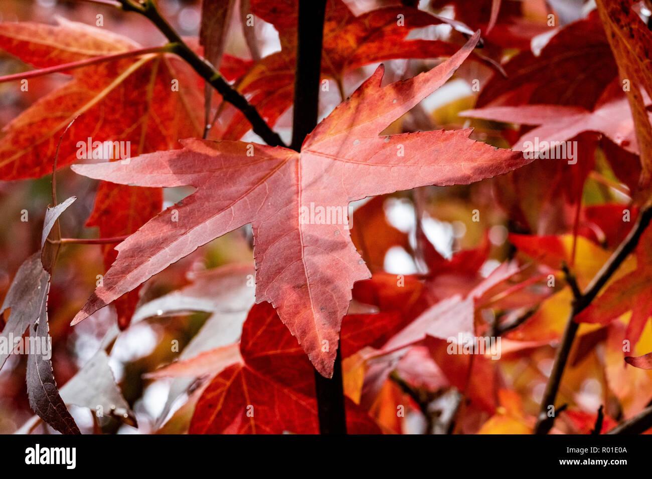 Colourful Red Autumn Leaves #1, Great Torrington, Devon, England. Stock Photo