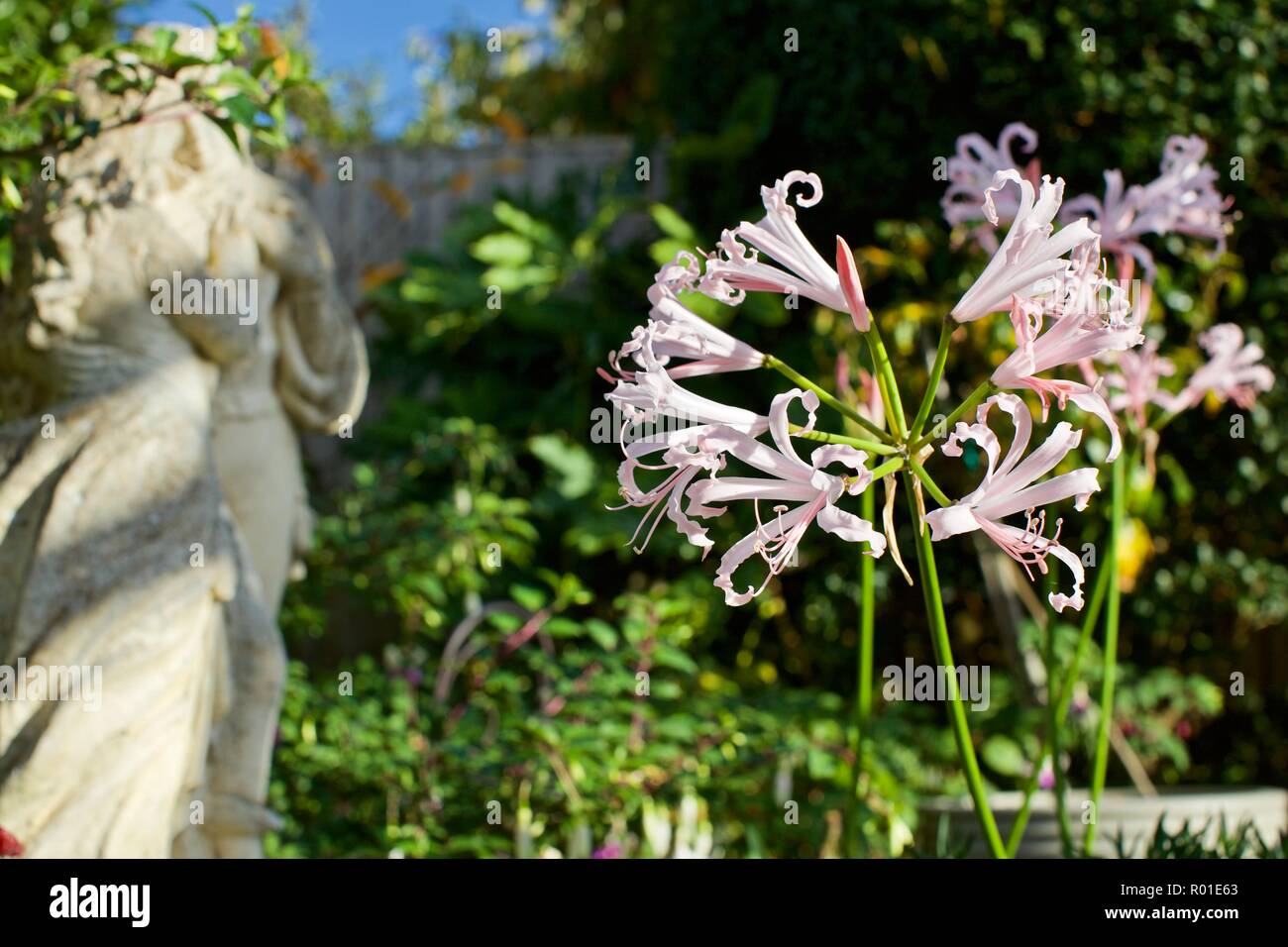 Nerine Bowdenii - Stock Image