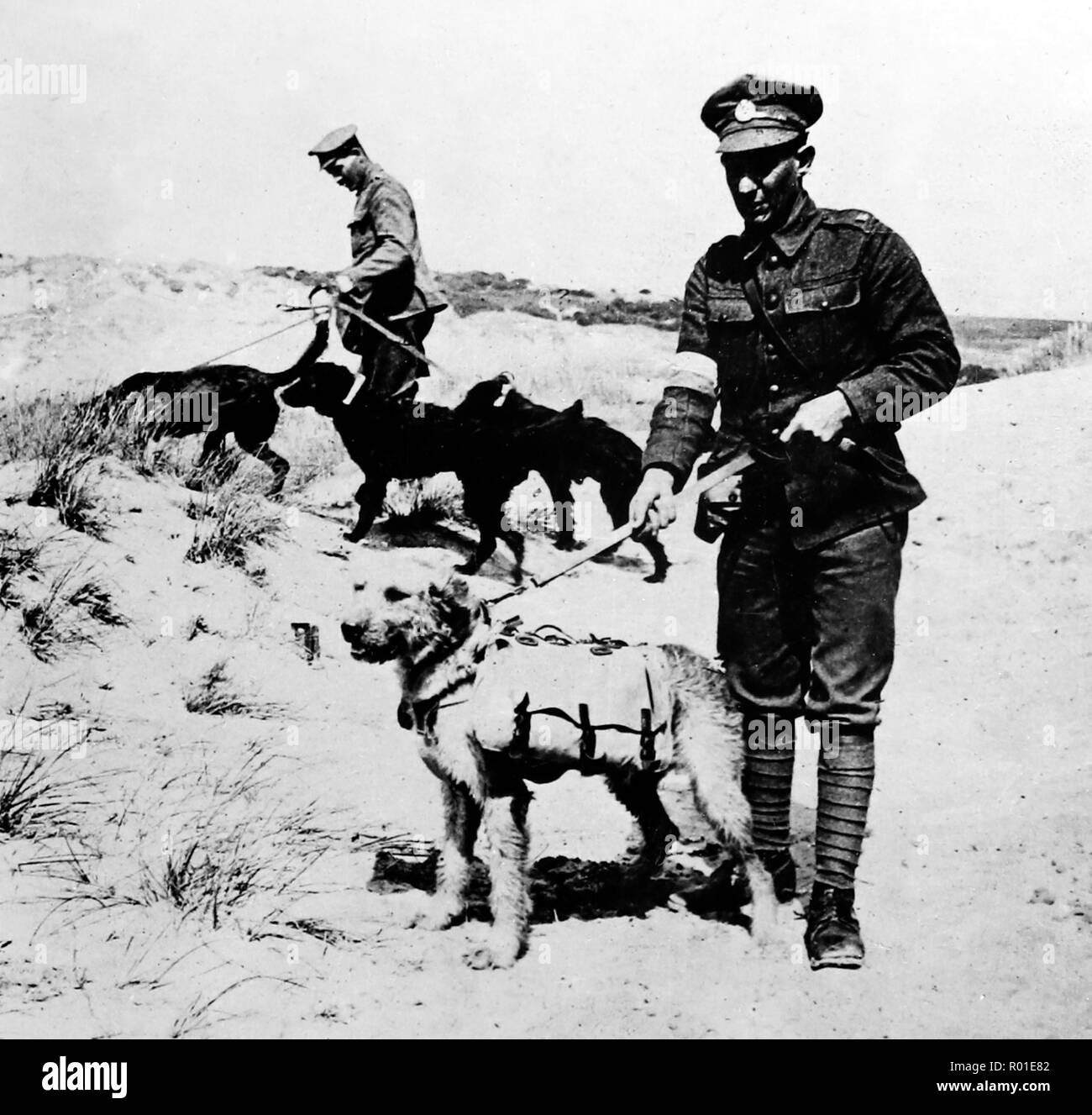 Dogs in no-mans-land with first aid supplies for wounded soldiers during the First World War - Stock Image