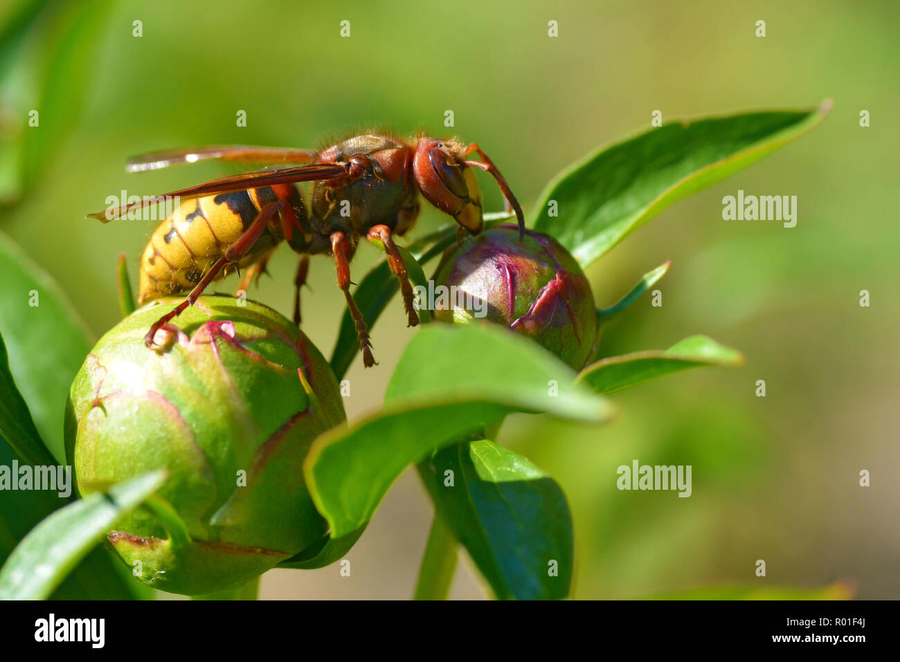 Closeup European hornet (Vespa crabro) on bud of peony flower seen from profile - Stock Image