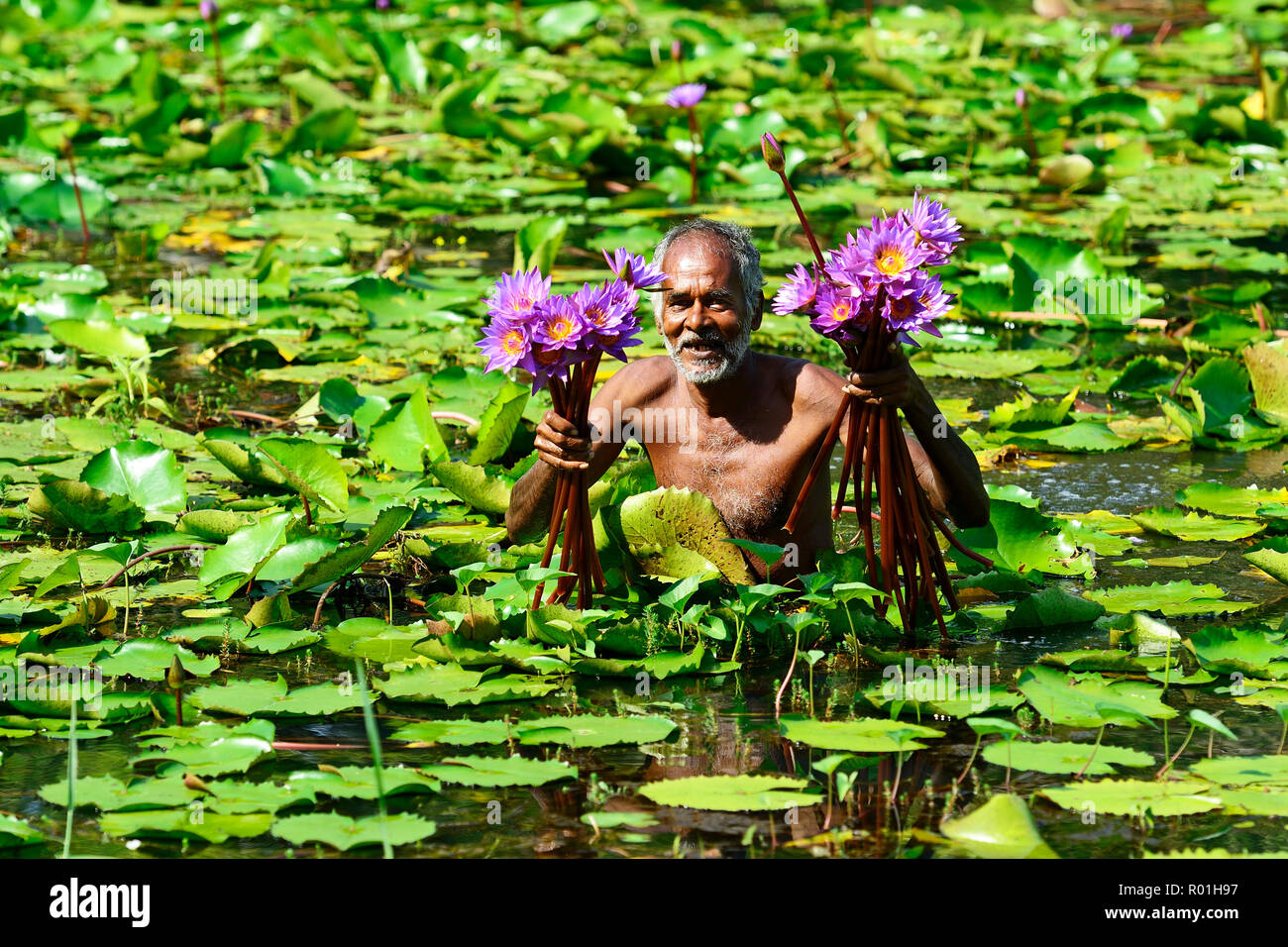 Old man collects flowers of Blue Lotus (Nymphaea caerulea) in a lake near Habarana, Sri Lanka - Stock Image
