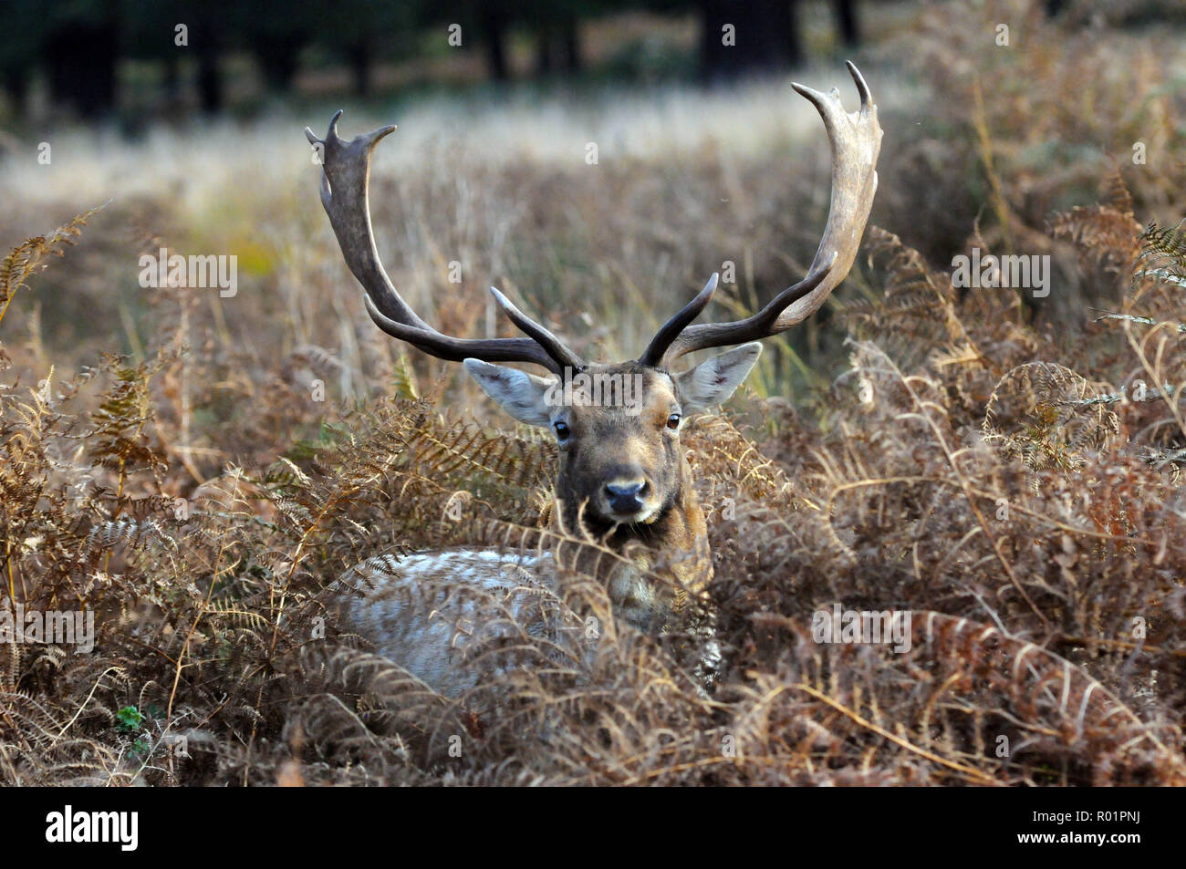 London, UK, 31 October 2018 Fallow deer in Richmond Park.  Sunny afternoon in Richmond Park on the last day of October. Credit: JOHNNY ARMSTEAD/Alamy Live News - Stock Image