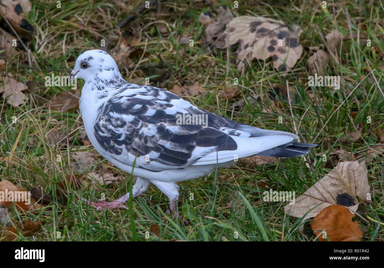 Lurgan Park, Lurgan, County Armagh, Northern Ireland. 31 October 2018. UK weather - a damp cold day in Lurgan Park with grey sky overhead until late afternoon. Grey day for a white and black pigeon in the park. Credit: David Hunter/Alamy Live News. - Stock Image