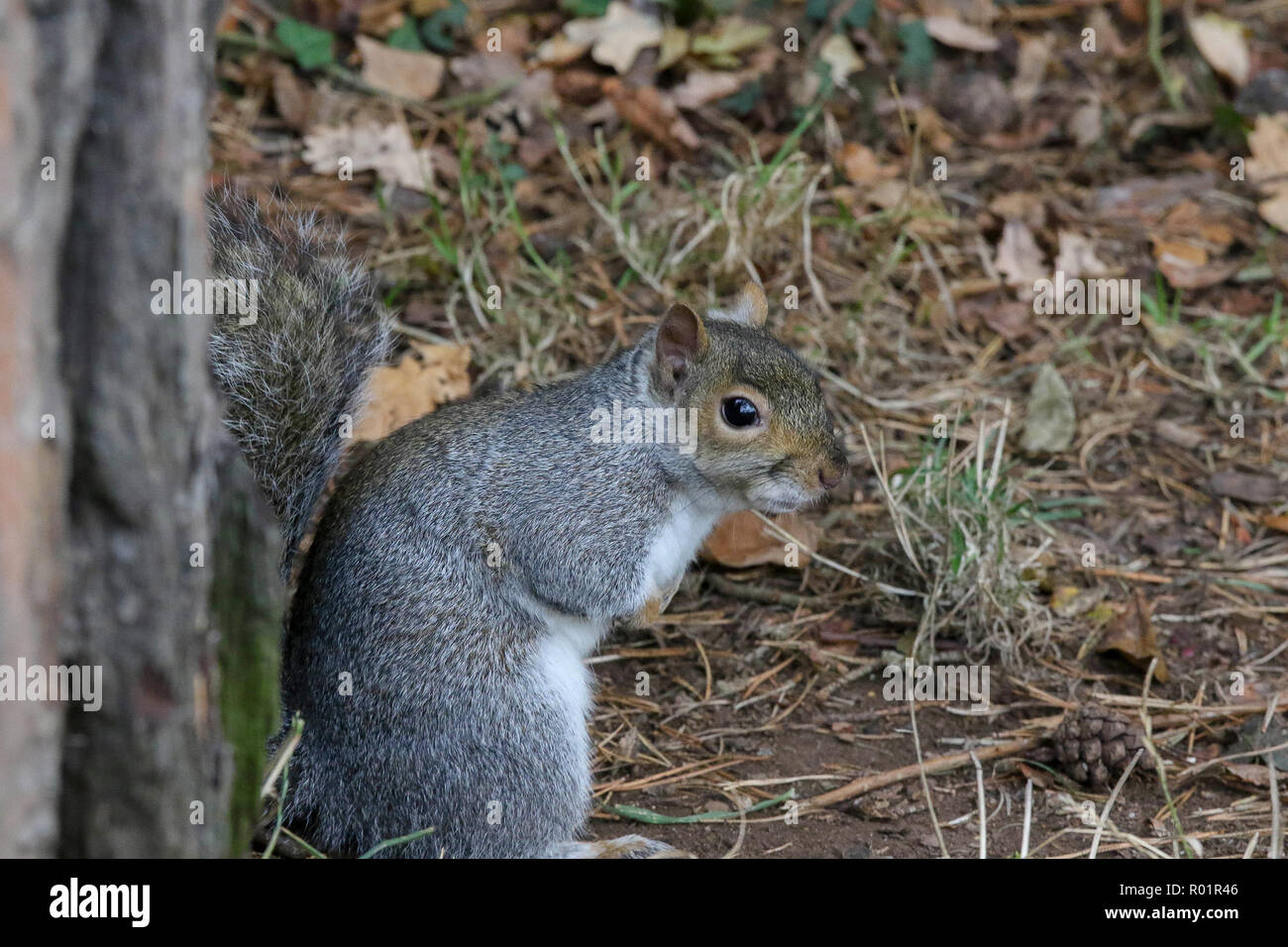 Lurgan Park, Lurgan, County Armagh, Northern Ireland. 31 October 2018. UK weather - a damp cold day in Lurgan Park with grey sky overhead until late afternoon. Grey day for a grey squirrel in the park. Credit: David Hunter/Alamy Live News. - Stock Image