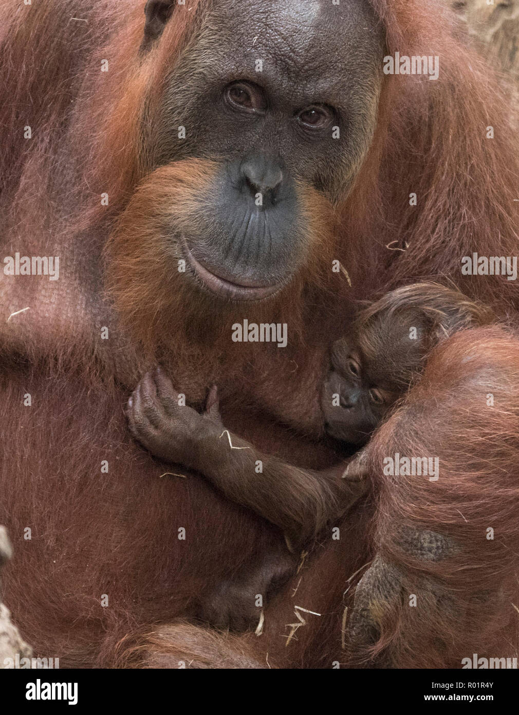 Frankfurt Main, Germany. 31st Oct, 2018. A still nameless orangutan baby clinging to its mother Rosa's fur. The animal's gender is also not yet certain. Credit: Boris Roessler/dpa/Alamy Live News - Stock Image