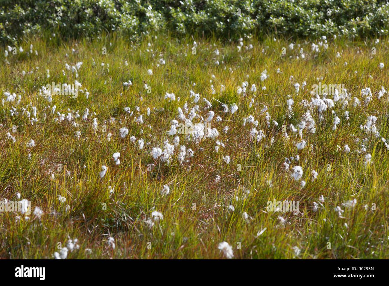Schmalblättriges Wollgras, Wollgras, Wollgräser, Eriophorum angustifolium, common cottongrass, common cottonsedge, cottongrass, cottonsedge, bog cotto - Stock Image