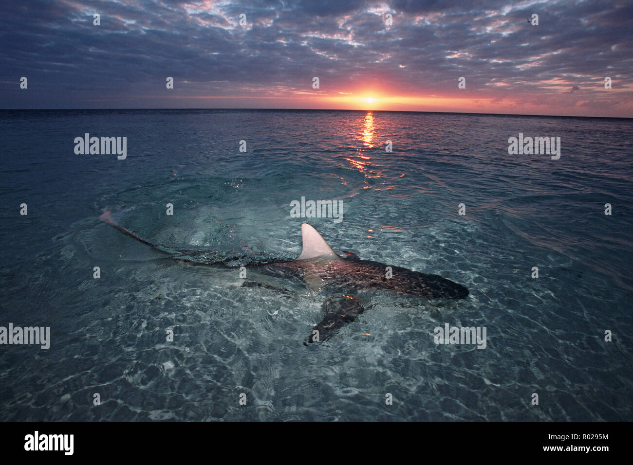 Blacktip shark, Carcharhinus limbatus, can be found in shallow water where they prey on small fishes and squid, Walker's Cay, Bahamas Islands, Atlanti Stock Photo