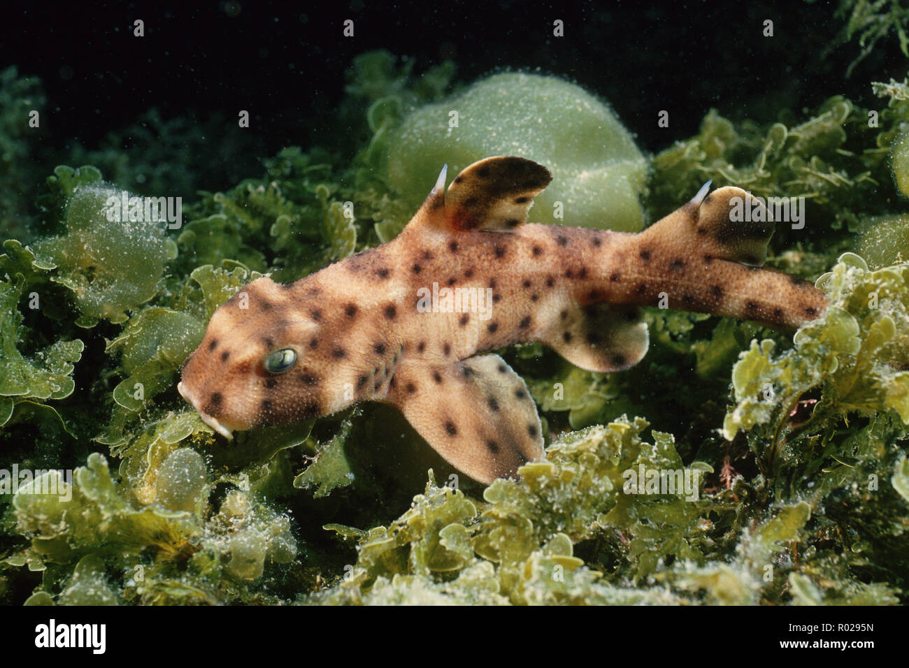 Horn shark, Heterodontus francisci, rests during the day in crevices and is active at night . It is one of the few species of sharks that lays an egg, - Stock Image